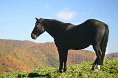 Black horse on a grassy mounta. Black horse standing on a grassy mountain top with fall foilage and blue sky in background Stock Photography