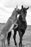 Black horse and gray donkey Royalty Free Stock Photography