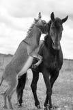 Black horse and gray donkey. Play Royalty Free Stock Photography
