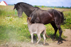 Black horse and gray donkey Royalty Free Stock Image