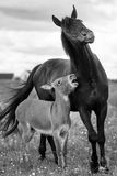 Black horse and gray donkey Stock Images