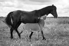Black horse and gray donkey. Play Royalty Free Stock Photos