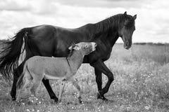 Black horse and gray donkey. Play Stock Photo
