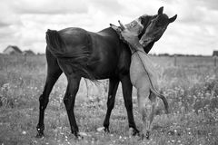 Black horse and gray donkey. Play Royalty Free Stock Images