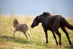 Black horse and gray donkey play Royalty Free Stock Photos
