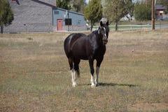 Black horse  grazing Royalty Free Stock Photo