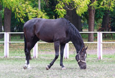 Black horse grazing in a field Stock Image