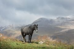 Black horse grazing in the highlands of North Ossetia. Stock Photo