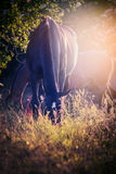 Black horse grazing on late evening sunlight Royalty Free Stock Photo
