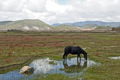 Black Horse Grazing in Meadow Royalty Free Stock Images