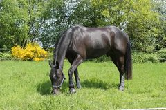 Black horse grazing in paddock Royalty Free Stock Photo
