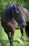 Black horse Royalty Free Stock Photos