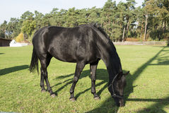 Black horse on green grass Royalty Free Stock Photography