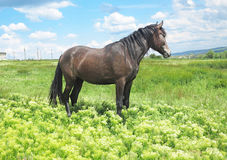 Black horse on a green meadow in spring day Stock Photos