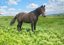 Black horse on a green meadow in spring day Stock Photo