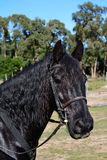 A black horse Royalty Free Stock Photos