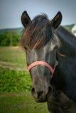 Black horse Royalty Free Stock Photo