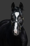 Black horse in halter with heart mark. Unigue and rare colored. Stock Images
