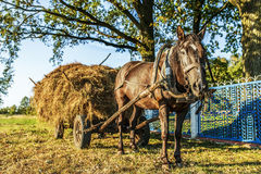 Black horse harnessed to cart with hay Royalty Free Stock Image