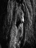 Black Horse Head. A close up a horse in black and white Stock Photo