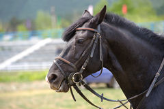 Black horse head. A black horse head in the harness royalty free stock images