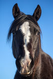 Black horse head portrait closeup Stock Image