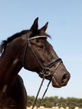 Black Horse Head Shot Stock Photography