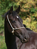 Black Horse Headshot Royalty Free Stock Images