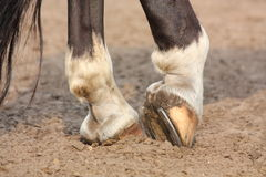 Horse hoofs with horseshoe close up Royalty Free Stock Photos
