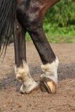Horse hoofs with horseshoe close up. Black horse hoofs with horseshoe close up Royalty Free Stock Image