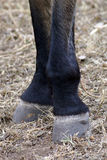 Black horse hooves Stock Image