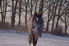 Black horse in a horse-cloth goes through the snowy field Royalty Free Stock Photography