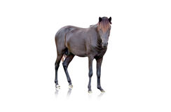 Black horse on isolated background. Royalty Free Stock Image