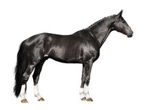 Black horse isolated on the white. Background Stock Photo