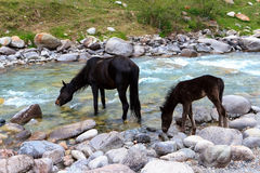 Black horse and its foal Royalty Free Stock Photo