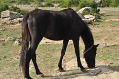 Black horse only Stock Images