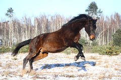 Black horse jumping in the air Stock Images