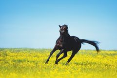 Black horse jumps on a blooming yellow field. Against a blue sky background stock photos