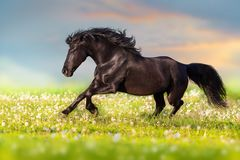 Black horse run. Black horse with long mane run free in summer meadow stock photography