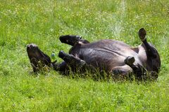 Black Horse Lying on Green Field Stock Photo