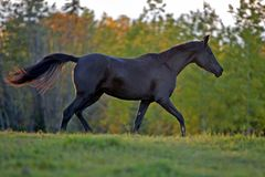 Black Horse Mare. Beautiful black Arabian Mare trotting in meadow, profile view, late afternoon sunlight stock image