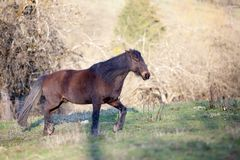 Black horse in meadow in autumn forest.  Stock Images