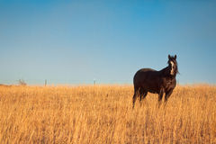 Black horse in meadow. Black horse in a field meadow in Kansas against a deep blue sky Stock Images