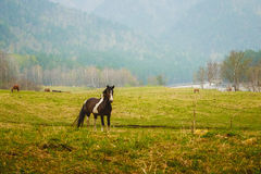 Black horse in the meadow Royalty Free Stock Image