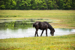 Black horse in meadow with water and trees Royalty Free Stock Images