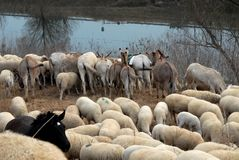 Black horse in the midst of the sheep and donkeys overlooking the river Royalty Free Stock Photos