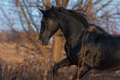 Black horse in motion Royalty Free Stock Photography