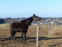 Black horse neighing Royalty Free Stock Photo