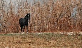 Black horse outdoor Royalty Free Stock Photos