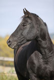 Black horse on pasturage in autumn Royalty Free Stock Photography